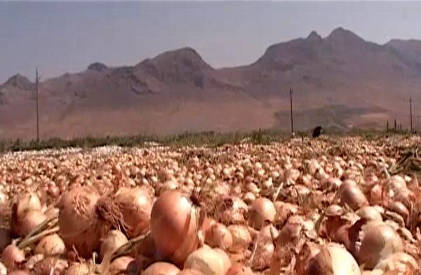 آغاز برداشت پیاز از ۲۰۰ هکتار مزارع شهرستان فریدونشهر