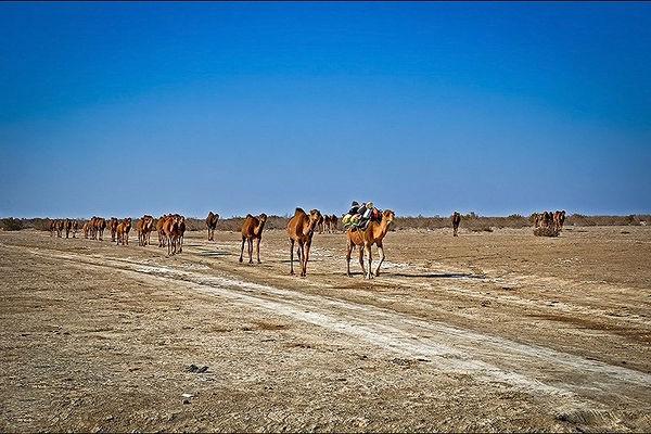 خروج 300 نفر شتر از تالاب هامون