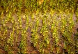 کشت برنج در ۴۰۰ هکتار شالیزار خراسان شمالی انجام میشود