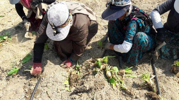 418 هکتار از مزارع کشاورزی شهرستان آبیک به کشت چغندرقند اختصاص یافت