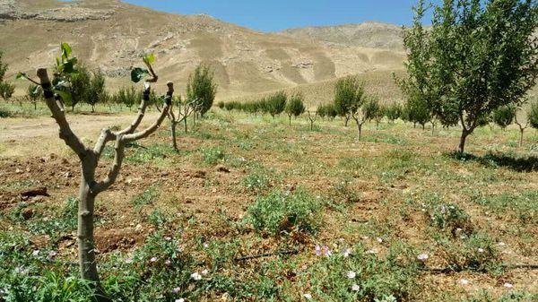 اجرای طرح سرشاخه کاری در ۵۲۰ هکتار از باغات چهارمحال و بختیاری