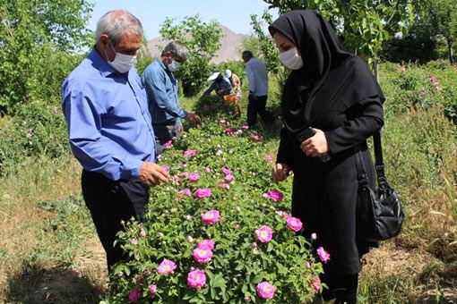 آغاز برداشت گل محمدی از 142هکتاراز گلستان های شهر ستان مرند