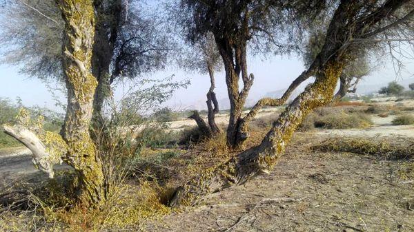 مبارزه با ملخ صحرایی از مرز 63 هزار هکتار گذشت
