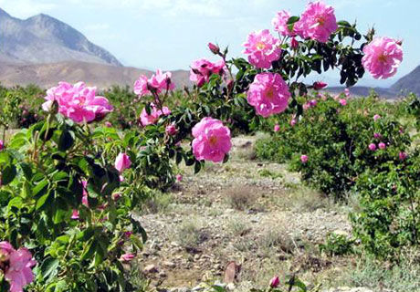 پیش بینی برداشت ۴۵۰ تن گل محمدی در کرمانشاه