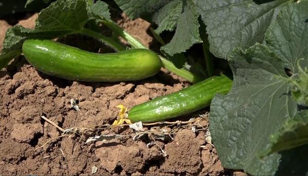 آغاز برداشت خیار از مزارع زیر کشت این محصول در فریدن