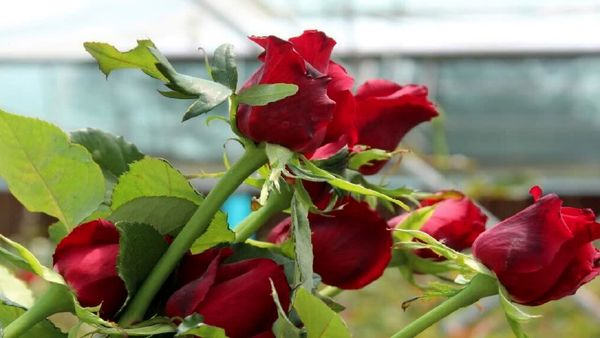 تولید 400 هزارگل شاخه بریده در مجهزترین گلخانه گل رز