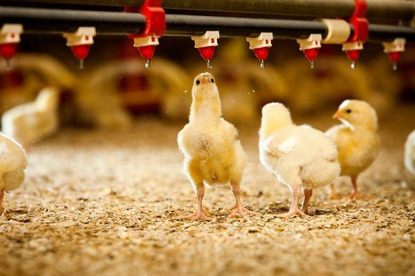 سالانه 57 هزار تن گوشت مرغ در خراسان جنوبی تولید می شود
