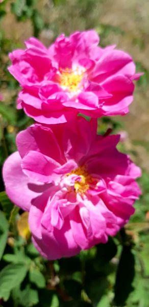 برداشت بیش از۴۳۰ تن گل محمدی از گلستان های بارور جنوب کرمان