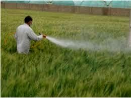 مبارزه شیمیایی در 106 هزار هکتار مزارع گندم مازندران