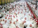 استمهال بدهی واحدهای پرورش مرغ گوشتی آسیب دیده از کرونا