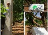 نصب تله های فرمونی در باغات شهرستان بن