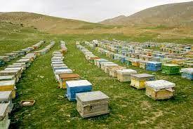 استقرار بیش از 40 هزار کلنی زنبور عسل در سپیدان