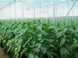 کشاورزان اصفهانی با رعایت اصول پیشگیری از کرونا فعالیت میکنند
