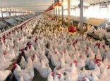 افزایش ۱۹ درصدی جوجه ریزی در مرغداریهای خوزستان