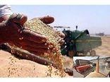5300 تن گندم و کلزا از کشاورزان جویباری خریداری شد