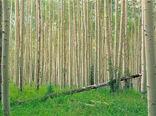 یک چهارم زراعت چوب کشور در ایلام انجام شد