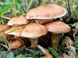 ۸ نفر در لرستان با قارچ سمی مسموم شدند