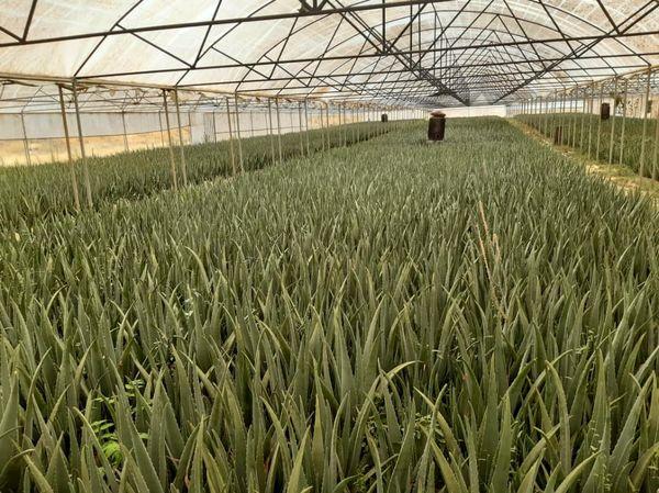 گیاه آلوئه ورا در 2400 متر از گلخانه های شهرستان آبیک کشت می شود
