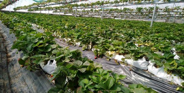 ۱۴۰۰ هکتار از اراضی کشاورزی پیشوا زیر گشت گلخانه قرار دارند