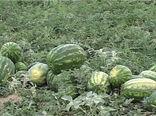 برداشت هندوانه و ملون از 160 هکتار از مزارع شهرستان گلپایگان
