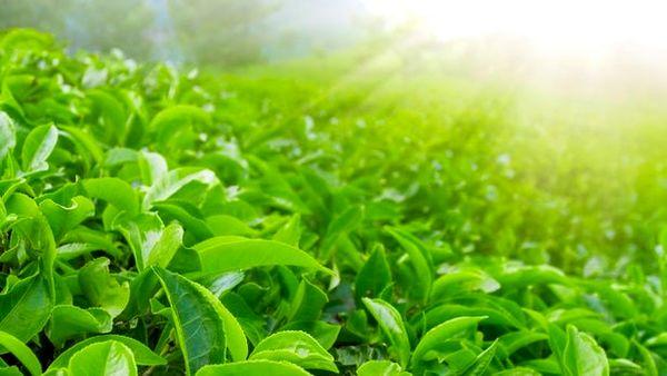 حدود 10 میلیارد تومان تسهیلات به چایکاران پرداخت شد