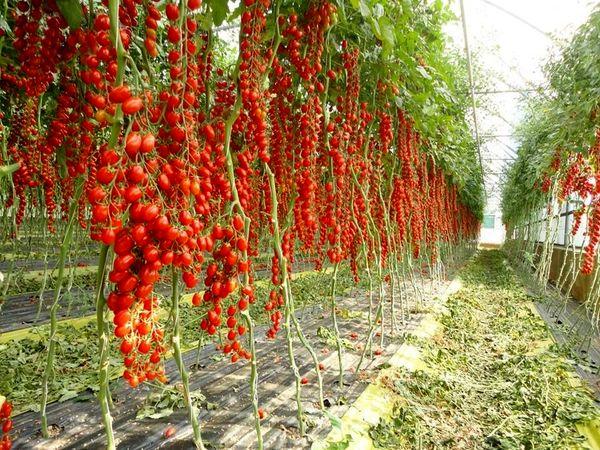 تحقق صددرصدی توسعه کشت گلخانهای در اصفهان