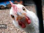قیمت مرغ در کردستان، 11 هزار تومان کاهش یافت.