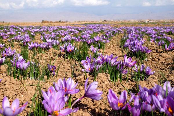 آغاز پایلوت برداشت مکانیزه زعفران در خراسان شمالی