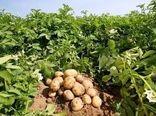 برداشت محصول سیبزمینی در شهرستان بردسیر