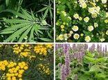 گیاهان دارویی در ۲ هزار هکتار از مراتع خراسان شمالی کشت میشود