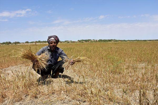 پرداخت91 میلیارد ریال خسارت خشکسالی به گندمکاران سیستان