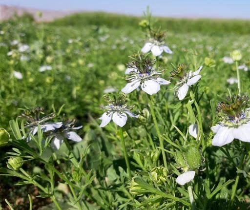 مزرعه پایلوت سیاهدانه روستای دورک قنبری به گل نشست