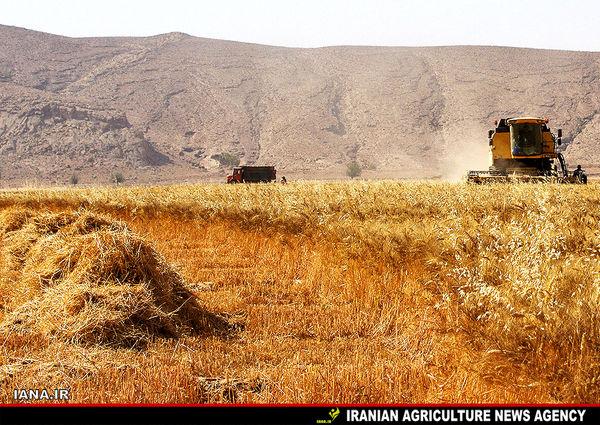 به رغم خشکسالی ۴۸ هزار تن گندم برداشت کردیم