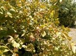 ضرورت جلوگیری از آفتاب سوختگی مرکبات جنوب کرمان