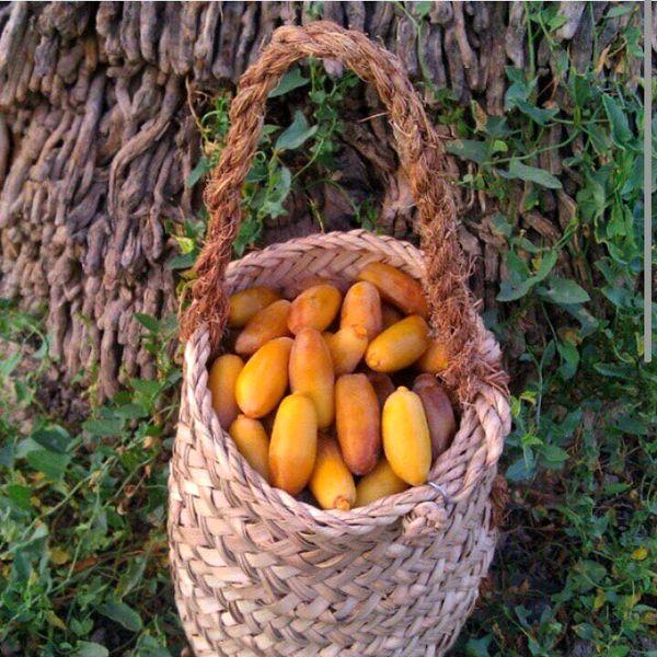 تولید سالانه 28 هزار تن خرما در جهرم