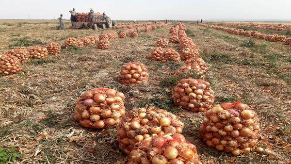 پیش بینی برداشت ۱۳۰ هزار تن پیاز در خراسان شمالی