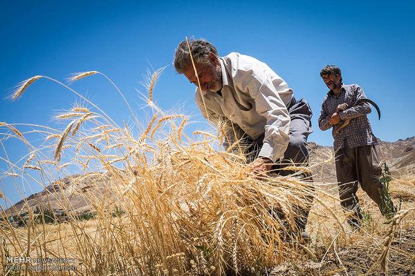 بهای گندم کشاورزان بابت بدهکاری برداشت نمیشود