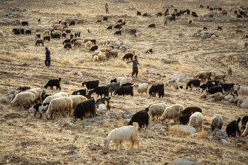 خرید تضمینی مرحله دوم دام های سبک عشایری و روستایی در خراسان شمالی