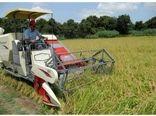 فعالیت 55 دستگاه کمباین برداشت برنج در نکا
