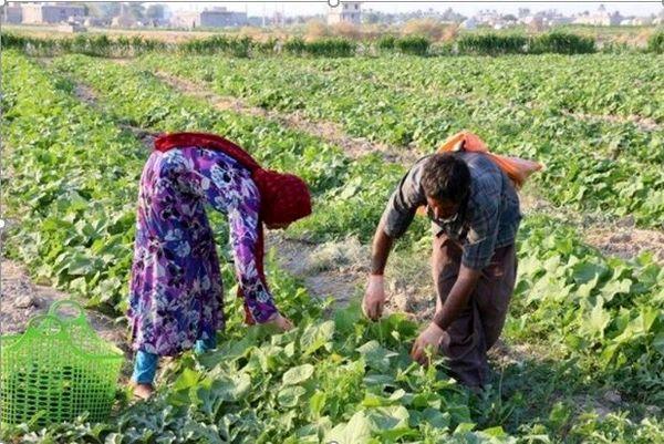 ۲۱۰ هزار تن محصول بهاره در خراسان شمالی برداشت شد