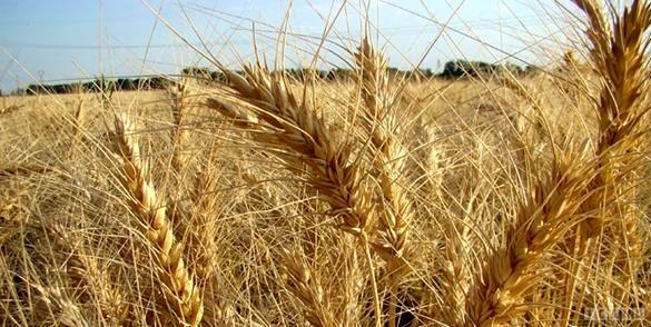 خرید تضمینی گندم در خراسان شمالی پایان یافت