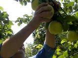 آغاز برداشت محصول بِه در فلاورجان