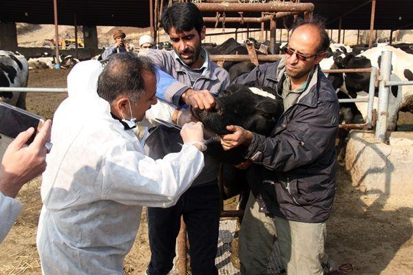 وجود بیش از 2500 راس دام سنگین در شهرستان پردیس