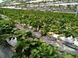 شهرضا قطب صادرات محصولات گلخانهای در استان اصفهان است