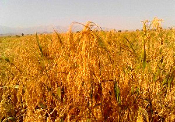 کشت ارزن در 20 هکتار از اراضی کشاورزی شهرستان البرز انجام شد