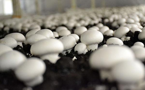 افزایش صادرات قارچ خوراکی در فروردین ۹۸