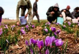 کشت زعفران در حدود  400 هکتار در شهرستان زرند
