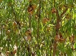 برداشت بیش از هزار تن بادام در کاشان