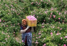 برداشت گل محمدی از مزارع راین و بخش مرکزی شهرستان کرمان