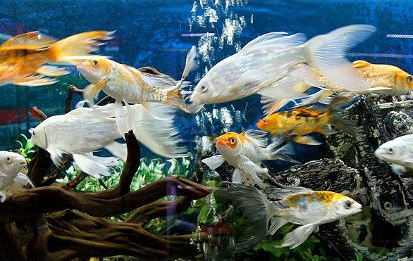 رونق صادرات ماهیان زینتی از استان اصفهان